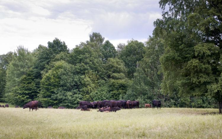 Byki z hodowli